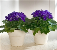 Cineraria Polaris Dark Blue
