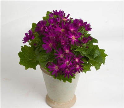 Cineraria Polaris Purple_disc