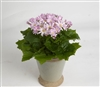 Cineraria Polaris Rose_disc
