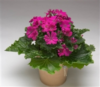 Cineraria Polaris Violet_disc