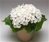 Cineraria Polaris White