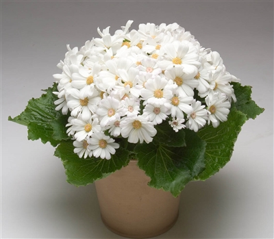 Cineraria Polaris White_disc