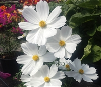 Cosmos Cutesy White