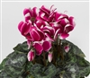Cyclamen Sierra Sn'ridge Purpl