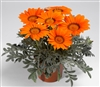 Gazania Kiss Frosty Orange