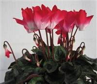 Cyclamen Flamenco Red/White