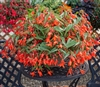 Begonia Bossa Nova Orange Pell