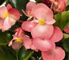 Begonia Big Pink Green Pellets