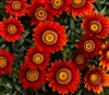 Gazania Big Kiss Red