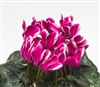 Cyclamen Laser Sn'ridge Purple