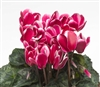 Cyclamen Laser Sn'ridge Wine