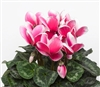 Cyclamen Sierra Sn'ridge Rose