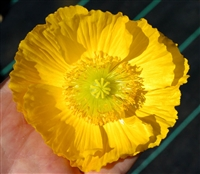 Poppy Maxim Yellow