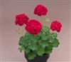 Geranium Marginata Deep Red