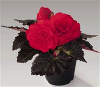 Begonia TubN/S Mocca Cherry