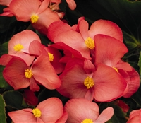 Begonia Big Rose Green Pellets