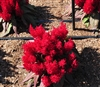 Celosia Dragons Breath