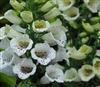Digitalis Carousel White