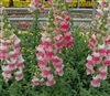 Antirrhinum Costa Appleblossom