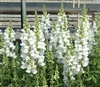 Antirrhinum Costa Early White
