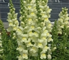 Antirrhinum Opus Lemon Lime