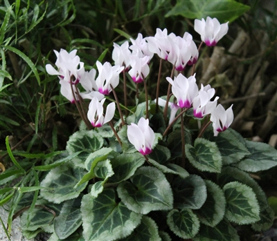 Cyclamen Outsider Lt Pink/eye