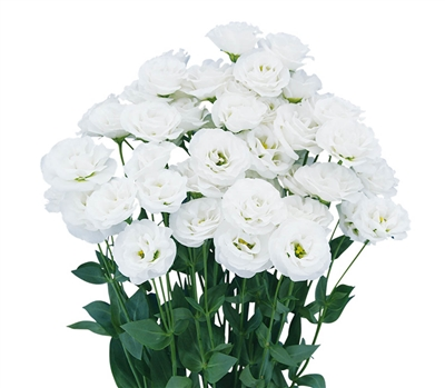 Lisianthus Arosa 3 White Pellets
