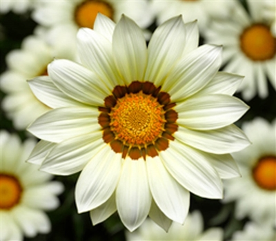 Gazania Big Kiss White