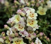 Antirrhinum Antiquity Lemon