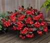 Begonia Whopper Red Bronze Pel