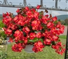 Begonia Whopper Red Green Pell