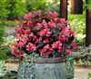Begonia Whopper Rose Bronze Pe
