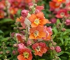 Antirrhinum Antiquity Orange Bicolour