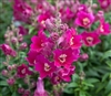 Antirrhinum Antiquity Purple