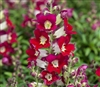 Antirrhinum Antiquity Red Bicolour