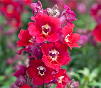 Antirrhinum Antiquity Red