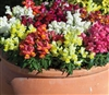 Antirrhinum Crackle n Pop Mix