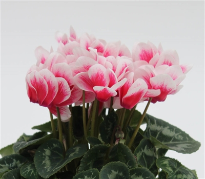 Cyclamen Merita Shine Red