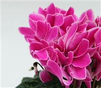 Cyclamen Contiga Purple Flame