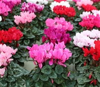 Cyclamen Facila Mix