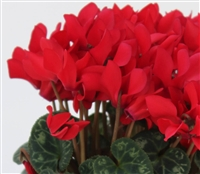 Cyclamen Facila Red