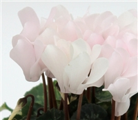 Cyclamen Facila White