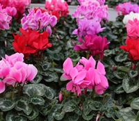 Cyclamen Contiga Mix