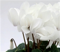 Cyclamen Contiga White