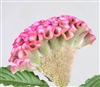 Celosia Act Pink