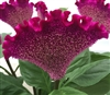Celosia Act Purple
