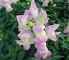 Antirrhinum Snappy Lavender Blush