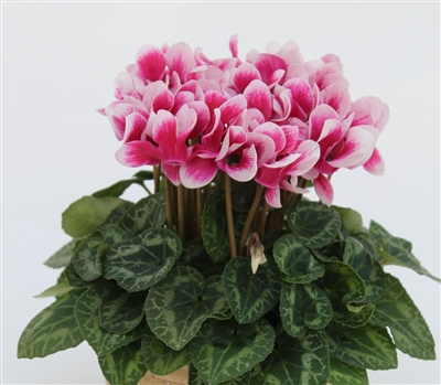 Cyclamen Facila Shine Wine Red