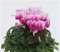 Cyclamen Facila Shine Purple