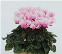 Cyclamen Facila Shine Pink